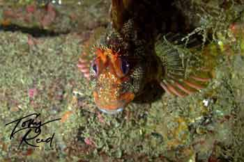 Blenny bay4