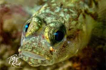 Blenny bay5