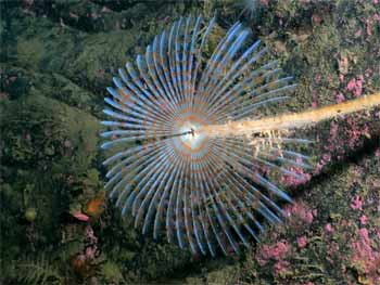 Fan sea worm